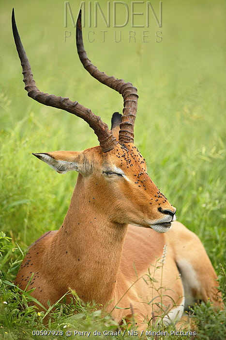 Impala (Aepyceros melampus) male covered with flies, Kruger National Park, South Africa