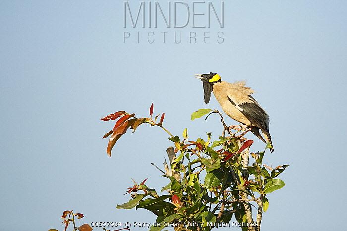 Wattled Starling (Creatophora cinerea) male in breeding plumage, Kruger National Park, South Africa