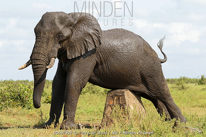 African Elephant (Loxodonta africana) male scratching belly on rock sign, Kruger National Park, South Africa