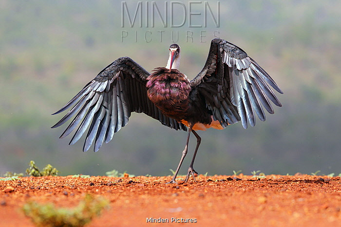 Woolly-necked Stork (Ciconia episcopus) spreading wings, Zimanga Game Reserve, South Africa