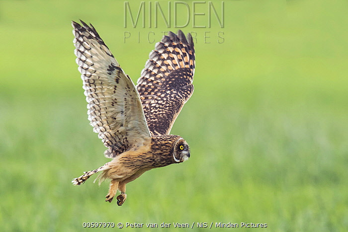 Short-eared Owl (Asio flammeus) juvenile flying, Eemnes, Utrecht, Netherlands