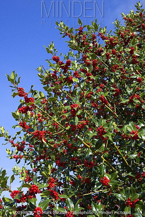 English Holly (Ilex aquifolium) with berries, Cotswolds, England, United Kingdom