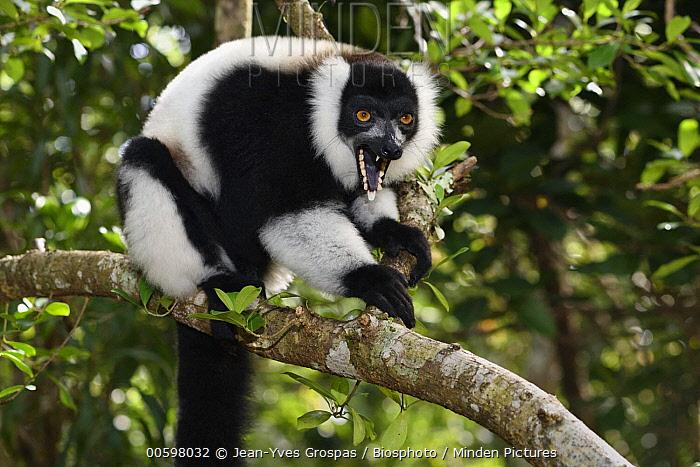 Ruffed Lemur (Varecia variegata) in defensive posture, Pangalanes Canal, Ampitabe Lake, Madagascar