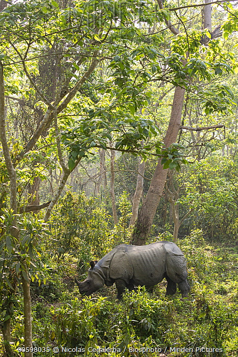 Indian Rhinoceros (Rhinoceros unicornis) in forest, Chitwan National Park, Nepal
