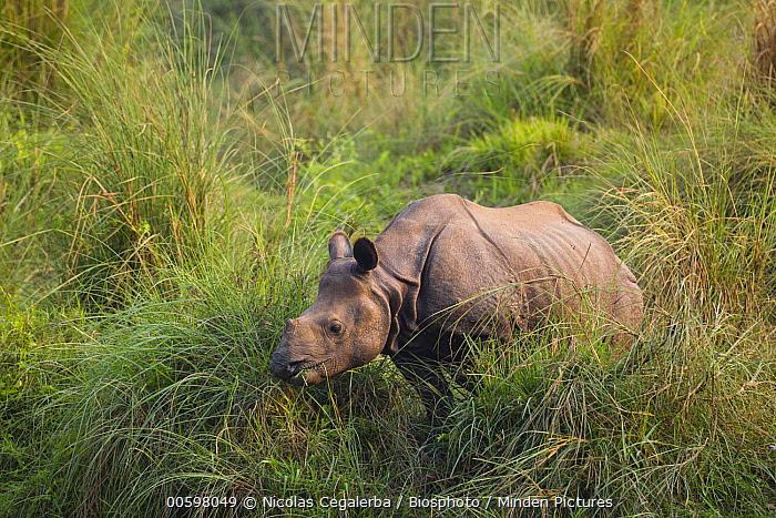 Indian Rhinoceros (Rhinoceros unicornis) sub-adult, Chitwan National Park, Nepal