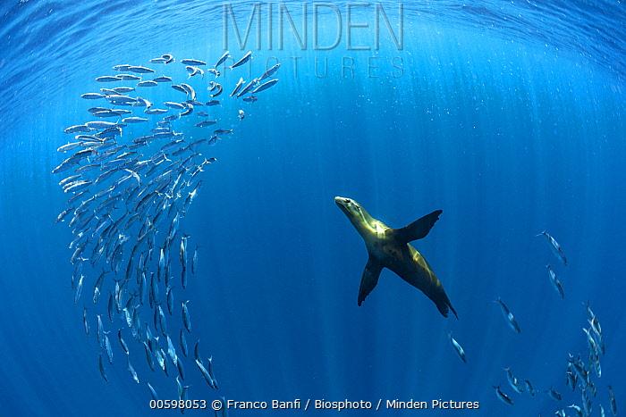 California Sea Lion (Zalophus californianus) hunting Pacific Sardines (Sardinops sagax), Magdalena Bay, Baja California, Mexico