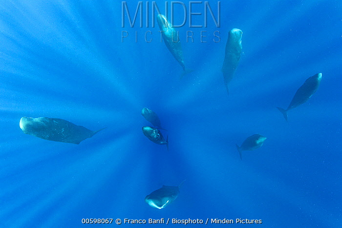 Sperm Whale (Physeter macrocephalus) pod sleeping, Dominica, Caribbean