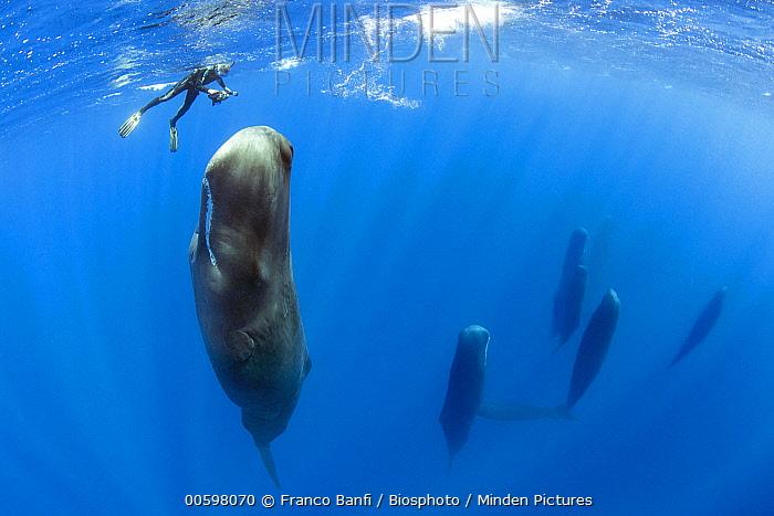 Sperm Whale (Physeter macrocephalus) pod sleeping with snorkeler, Dominica, Caribbean