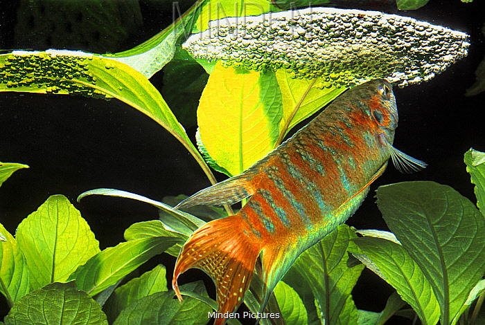 Paradise Fish (Macropodus opercularis) male building bubble nest, native to Asia