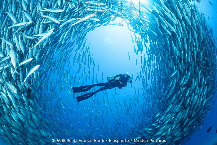 Bigeye Trevally (Caranx sexfasciatus) school and diver, Cabo Pulmo National Park, Baja California, Mexico