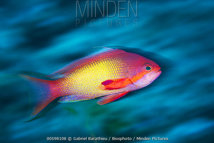 Sea Goldie (Pseudanthias squamipinnis) male, Mayotte