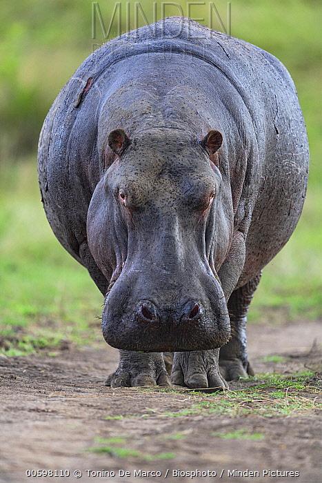 Hippopotamus (Hippopotamus amphibius), Masai Mara, Kenya