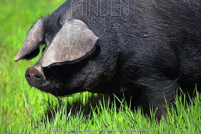Gascogne (Sus scrofa domesticus) pig, France