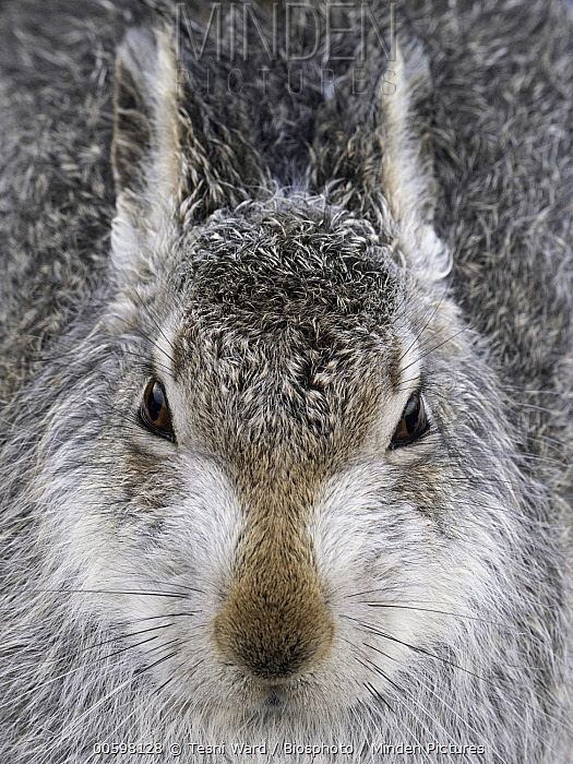 Mountain Hare (Lepus timidus), Cairngorms National Park, Scotland, United Kingdom