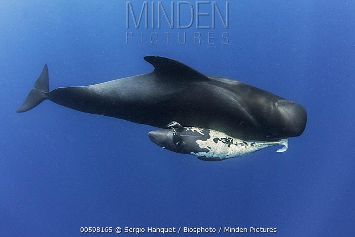 Short-finned Pilot Whale (Globicephala macrorhynchus) mother carrying dead newborn, Tenerife, Canary Islands, Spain