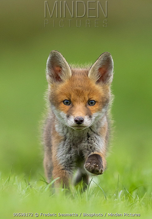 Red Fox (Vulpes vulpes) pup running, England, United Kingdom