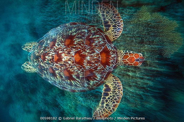 Green Sea Turtle (Chelonia mydas) swimming, Mayotte
