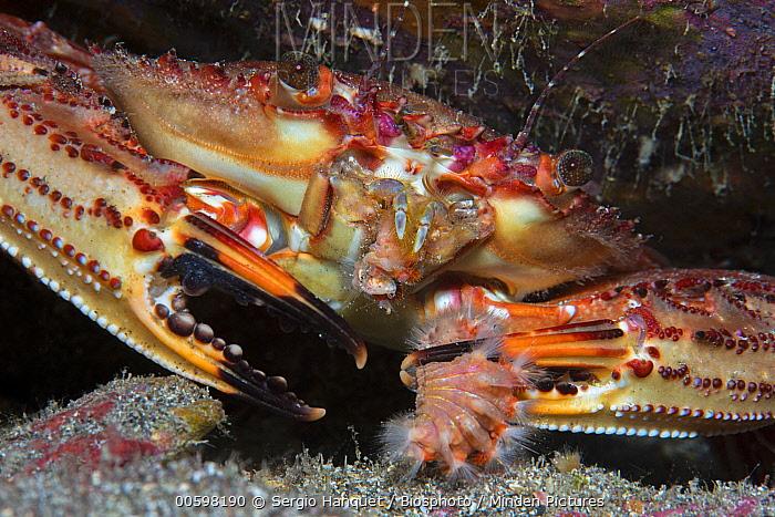Swimming Crab (Cronius ruber), invasive species, with sea anemone prey, Tenerife, Canary Islands, Spain