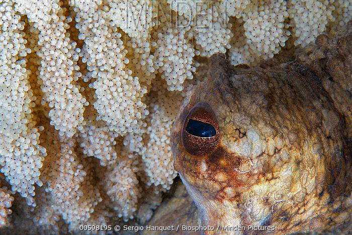 Common Octopus (Octopus vulgaris) female guarding eggs, Tenerife, Canary Islands, Spain