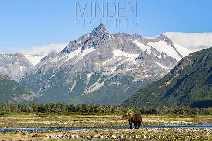 Grizzly Bear (Ursus arctos horribilis) and mountains, Katmai National Park, Alaska