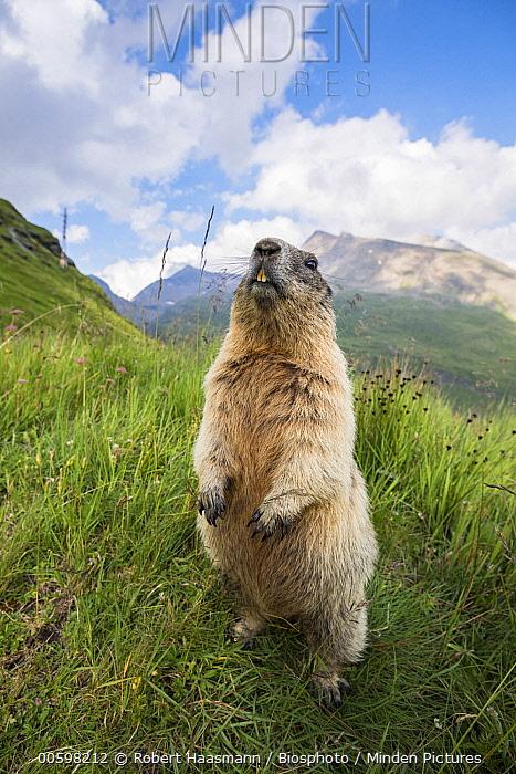 Alpine Marmot (Marmota marmota) in threat display, Hohe Tauern National Park, Austria