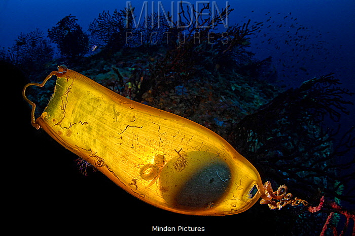Shark egg case with developing embryo, sometimes called mermaid's purses, Castellammare di Stabia, Napels, Italy