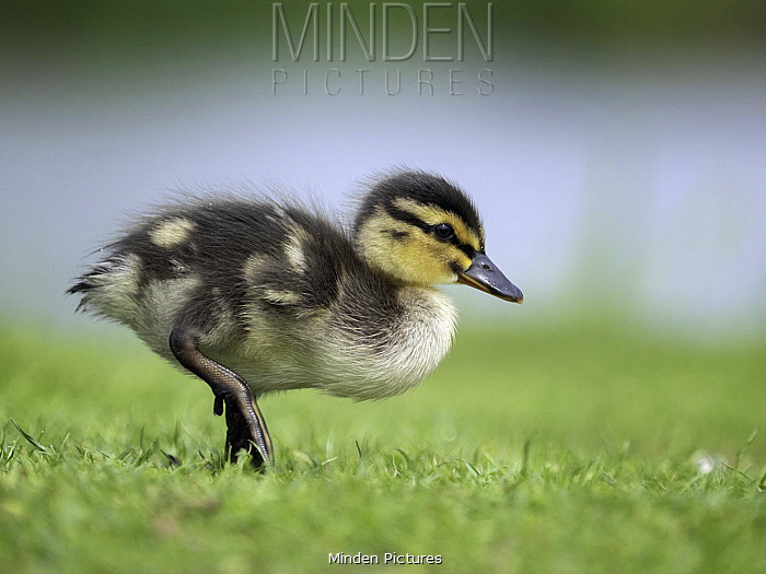 Mallard (Anas platyrhynchos) duckling, Peak District National Park, England, United Kingdom