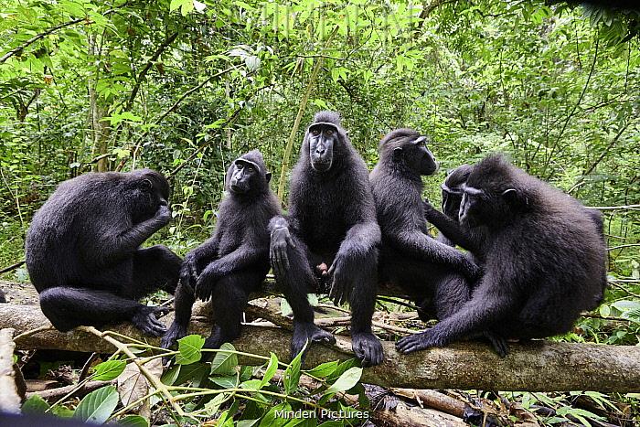 Celebes Black Macaque (Macaca nigra) group, Tangkoko-Duasaudara Nature Reserve, Sulawesi, Indonesia