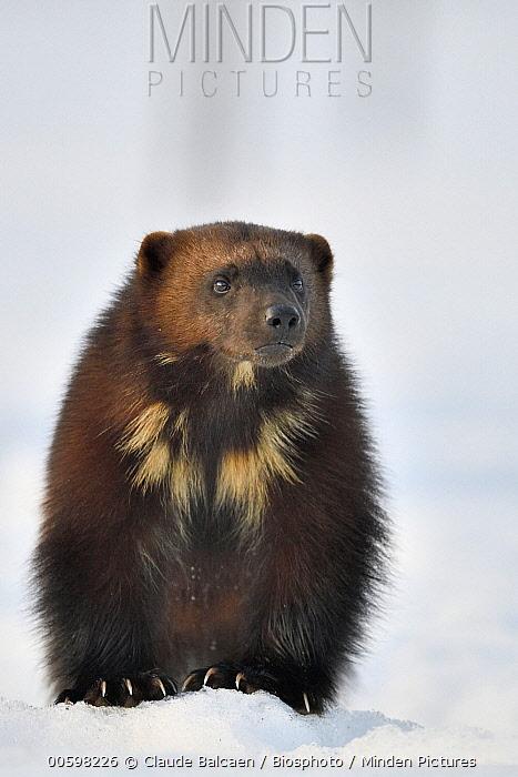 Wolverine (Gulo gulo) in winter, Finland