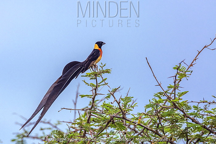 Eastern Paradise-Whydah (Vidua paradisaea), Kruger National Park, South Africa