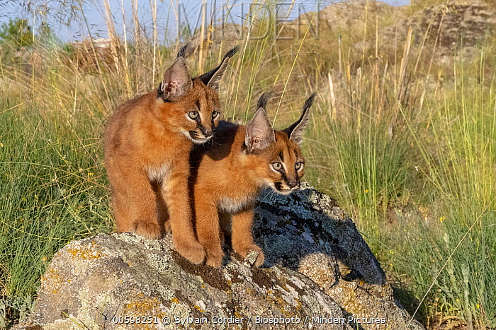 Caracal (Caracal caracal) nine week old kittens, native to Africa and Asia