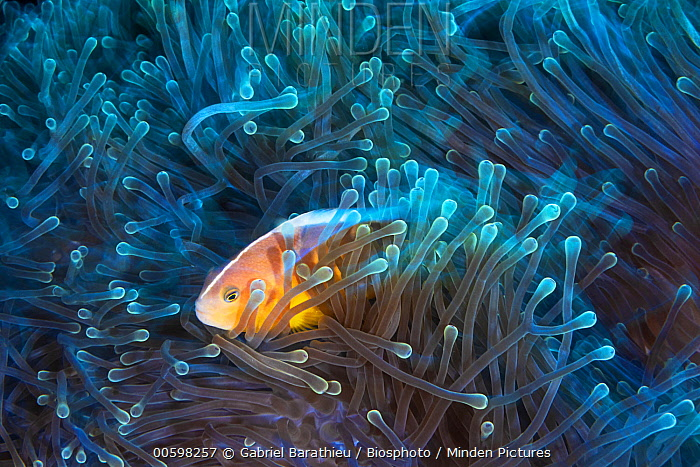 Skunk Anemonefish (Amphiprion akallopisos) in sea anemone, Mayotte