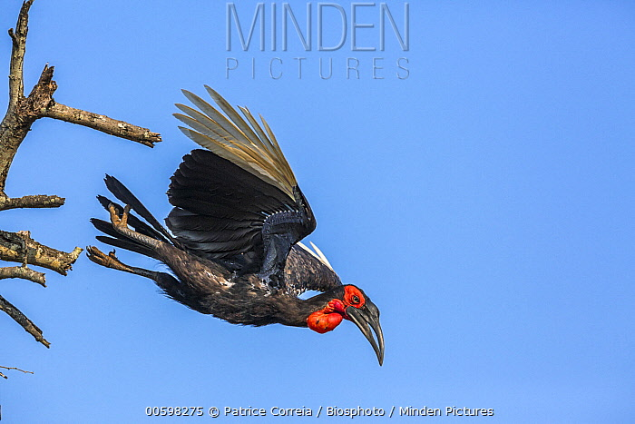 Ground Hornbill (Bucorvus leadbeateri) flying, Kruger National Park, South Africa