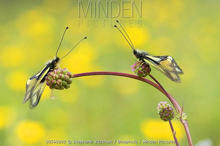 Owl Fly (Libelloides coccajus) pair, Vosges, France