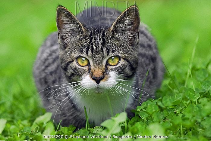 Domestic Cat (Felis catus) sub-adult, France