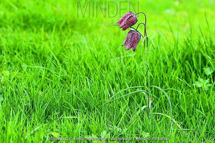 Checkered Lily (Fritillaria meleagris) flowers, France