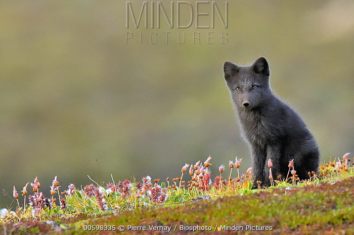 Arctic Fox (Alopex lagopus) pup, Jameson Land, Greenland
