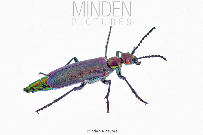 Nuttall's Blister Beetle (Lytta nuttalli), Granby, Colorado
