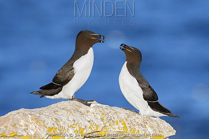 Razorbill (Alca torda) pair, Sweden
