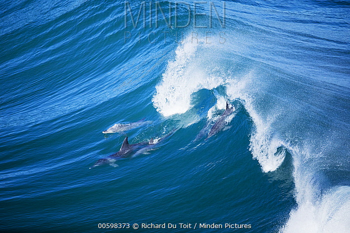 Indo-pacific Bottlenose Dolphin (Tursiops aduncus) group surfing wave, Western Cape, South Africa