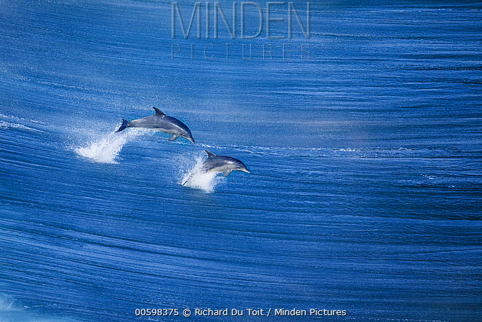 Indo-pacific Bottlenose Dolphin (Tursiops aduncus) pair jumping, Western Cape, South Africa