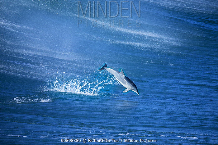 Indo-pacific Bottlenose Dolphin (Tursiops aduncus) jumping, Western Cape, South Africa