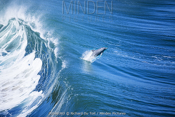 Indo-pacific Bottlenose Dolphin (Tursiops aduncus) jumping out of wave, Western Cape, South Africa