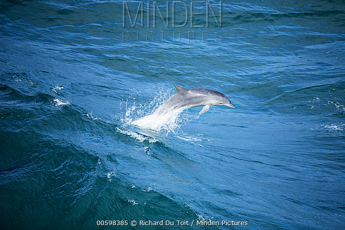Indo-pacific Bottlenose Dolphin (Tursiops aduncus) jumping in wave, Western Cape, South Africa