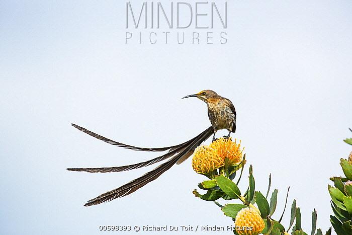 Cape Sugarbird (Promerops cafer) male on Pincushion (Leucospermum sp), Western Cape, South Africa