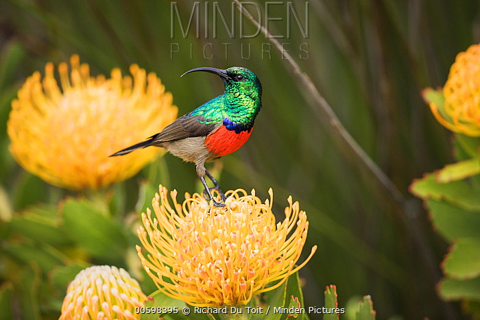 Greater Double-collared Sunbird (Nectarinia afra) male on Pincushion (Leucospermum sp) flower, Western Cape, South Africa