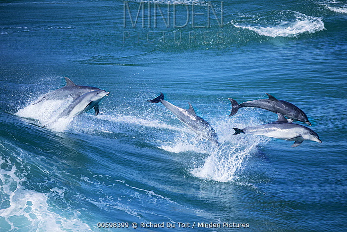 Indo-pacific Bottlenose Dolphin (Tursiops aduncus) pod jumping in waves, Western Cape, South Africa
