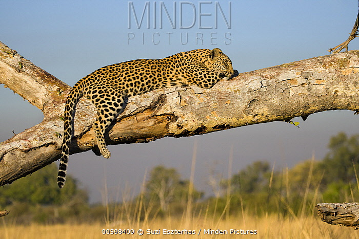 Leopard (Panthera pardus) sixteen month old cub sleeping, Jao Reserve, Botswana