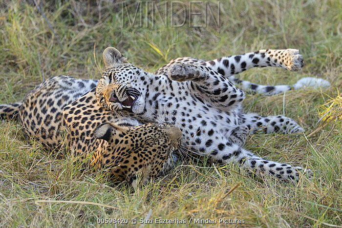 Leopard (Panthera pardus) sixteen month old cubs playing, Jao Reserve, Botswana