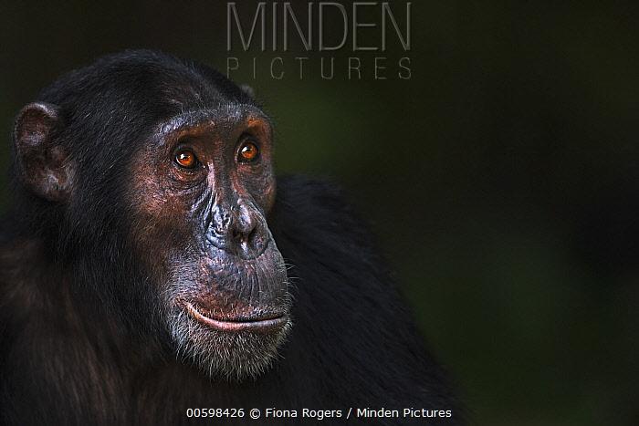 Eastern Chimpanzee (Pan troglodytes schweinfurthii) eighteen year old male, named Sampson, Gombe National Park, Tanzania